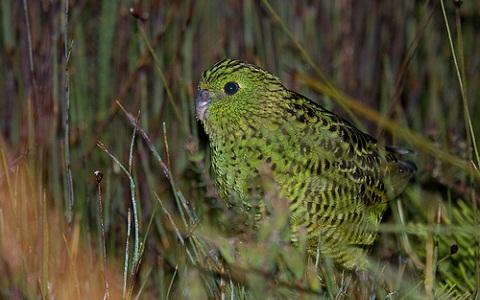 1Perruche-terrestre—Pezoporus-wallicus—Eastern-Ground-Parrot