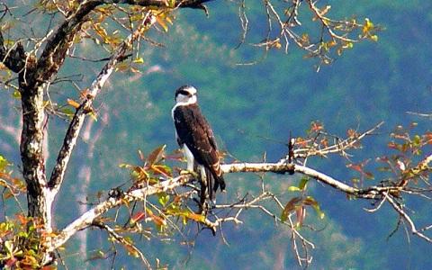 2Aigle-à-ventre-roux—Lophotriorchis-kienerii—Rufous-bellied-Hawk-Eagle