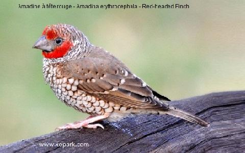 2Amadine-à-tête-rouge—Amadina-erythrocephala—Red-headed-Finch