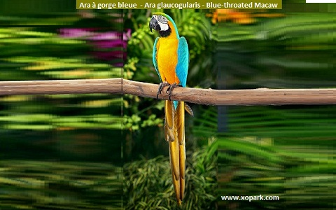 2Ara-bleu-et-jaune—Ara-ararauna—Blue-and-yellow-Macaw