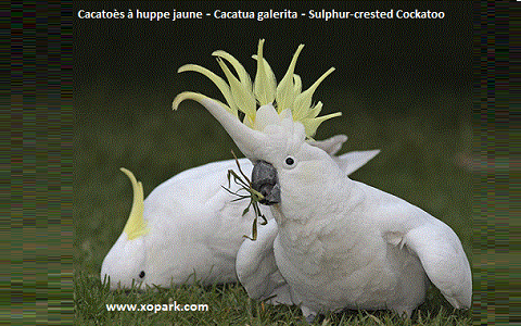 2Cacatoès-à-huppe-jaune—Cacatua-galerita—Sulphur-crested-Cockatoo