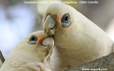 2Cacatoès-corella—Cacatua-sanguinea—Little-Corella