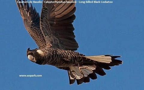 2Cacatoès-de-Baudin—Calyptorhynchus-baudinii—Long-billed-Black-Cockatoo