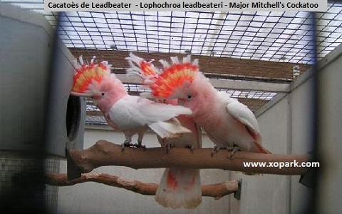 2Cacatoès-de-Leadbeater—Lophochroa-leadbeateri—Major-Mitchell_s-Cockatoo