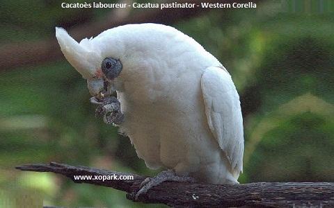 2Cacatoès-laboureur—Cacatua-pastinator—Western-Corella