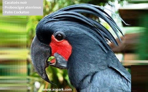 2Cacatoès-noir—Probosciger-aterrimus—Palm-Cockatoo