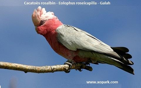 2Cacatoès-rosalbin—Eolophus-roseicapilla—Galah