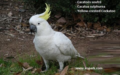 2Cacatoès-soufré—Cacatua-sulphurea—Yellow-crested-Cockatoo
