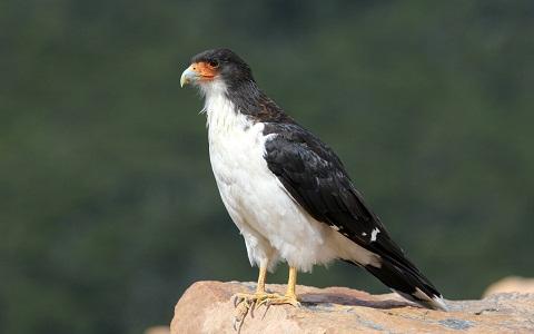 2Caracara-à-gorge-blanche—Phalcoboenus-albogularis—White-throated-Caracara