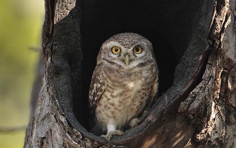 2Chevêche-brame—Athene-brama—Spotted-Owlet