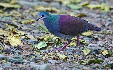 2Colombe-à-calotte-grise—Leptotila-plumbeiceps—Grey-headed-Dove