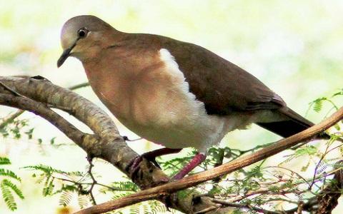 2Colombe-de-Grenade—Leptotila-wellsi—Grenada-Dove