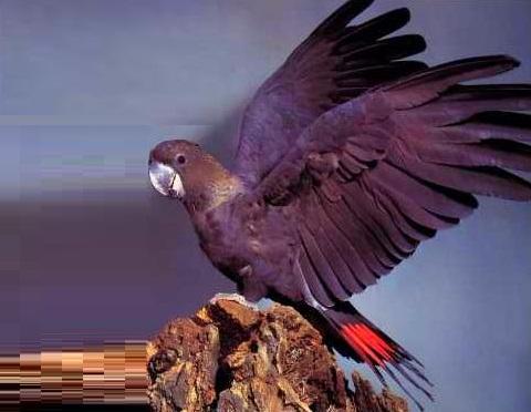 2Glossy-Black-Cockatoo—Calyptorhynchus-lathami—Cacatoès-de-Latham