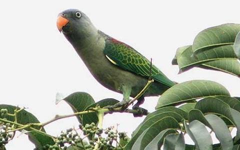 2Perruche-à-croupion-bleu—Psittinus-cyanurus—Blue-rumped-Parrot