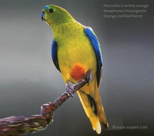 Orange -Bellied Parrot.