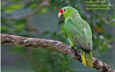 2Perruche-de-Buru—Tanygnathus-gramineus—Black-lored-Parrot