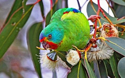 2Perruche-de-Latham—Lathamus-discolor—Swift-Parrot