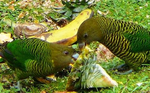 2Perruche-de-Madarasz—Psittacella-madaraszi—Madarasz_s-Tiger-Parrot