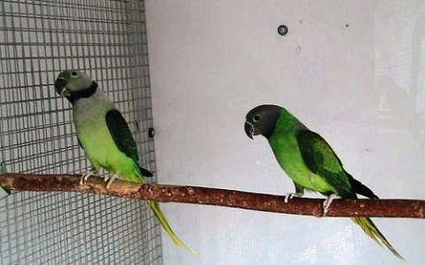 2Perruche-de-Malabar—Psittacula-columboides—Blue-winged-Parakeet