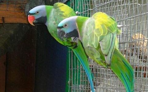 2Perruche-de-derby—Psittacula-derbiana—Lord-Derby_s-Parakeet