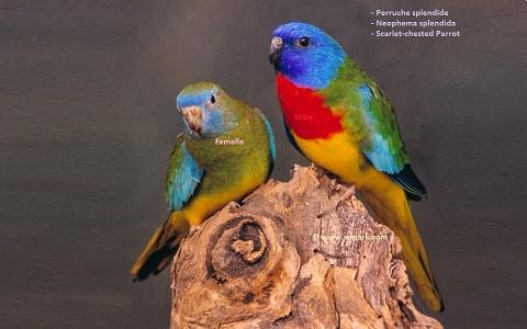 2Perruche-splendide—Neophema-splendida—Scarlet-chested-Parrot