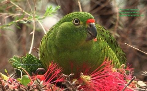 2Perruche-terrestre—Pezoporus-wallicus—Eastern-Ground-Parrot