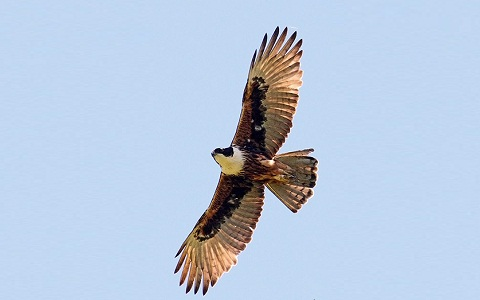 3Aigle-à-ventre-roux—Lophotriorchis-kienerii—Rufous-bellied-Hawk-Eagle