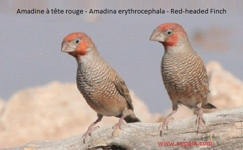 3Amadine-à-tête-rouge—Amadina-erythrocephala—Red-headed-Finch