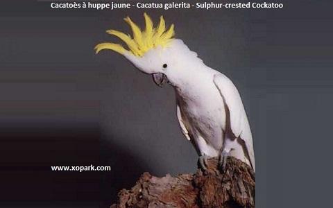 3Cacatoès-à-huppe-jaune—Cacatua-galerita—Sulphur-crested-Cockatoo