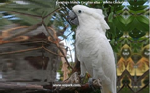 3Cacatoès-blanc—Cacatua-alba—White-Cockatoo