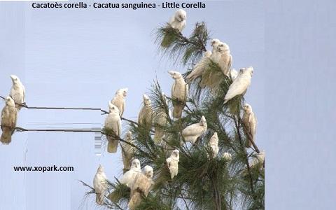 3Cacatoès-corella—Cacatua-sanguinea—Little-Corella