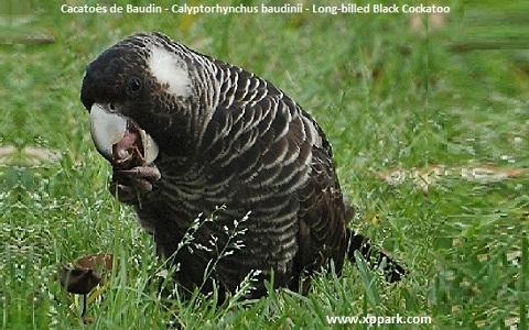 Short-Billed Black-Cockatoo