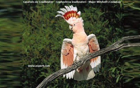 3Cacatoès-de-Leadbeater—Lophochroa-leadbeateri—Major-Mitchell_s-Cockatoo