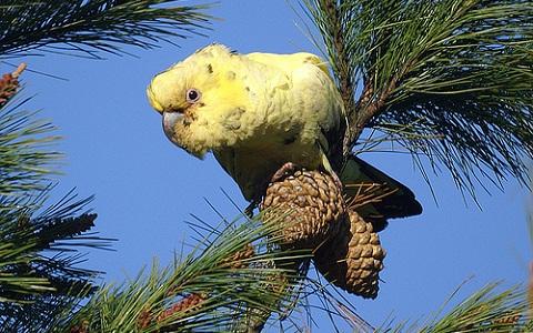 3Cacatoès-funèbre—Calyptorhynchus-funereus—Yellow-tailed-Black-Cockatoo
