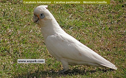 3Cacatoès-laboureur—Cacatua-pastinator—Western-Corella