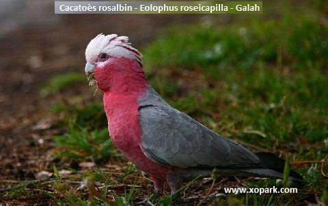 3Cacatoès-rosalbin—Eolophus-roseicapilla—Galah
