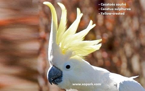 3Cacatoès-soufré—Cacatua-sulphurea—Yellow-crested-Cockatoo