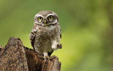 3Chevêche-brame—Athene-brama—Spotted-Owlet
