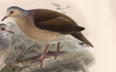 3Colombe-à-calotte-grise—Leptotila-plumbeiceps—Grey-headed-Dove