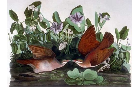3Colombe-à-joues-blanches—Geotrygon-chrysia —Key-West-Quail-Dove