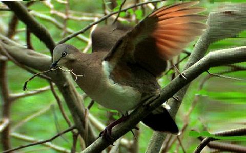 3Colombe-de-Grenade—Leptotila-wellsi—Grenada-Dove