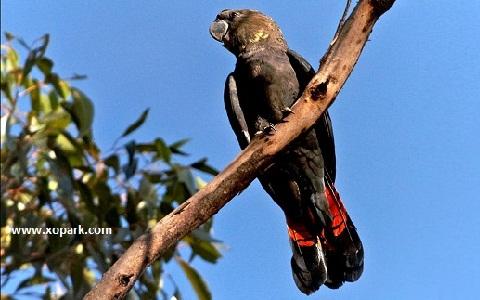 3Glossy-Black-Cockatoo—Calyptorhynchus-lathami—Cacatoès-de-Latham