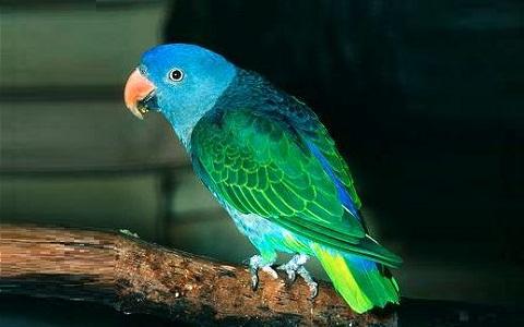 3Perruche-à-croupion-bleu—Psittinus-cyanurus—Blue-rumped-Parrot