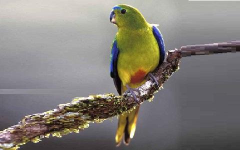 3Perruche-à-ventre-orange—Neophema-chrysogaster—Orange-bellied-Parrot