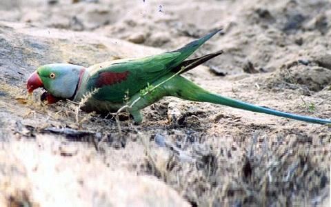 3Perruche-alexandre—Psittacula-eupatria—Alexandrine-Parakeet