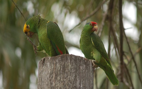 3Perruche-de-Buru—Tanygnathus-gramineus—Black-lored-Parrot