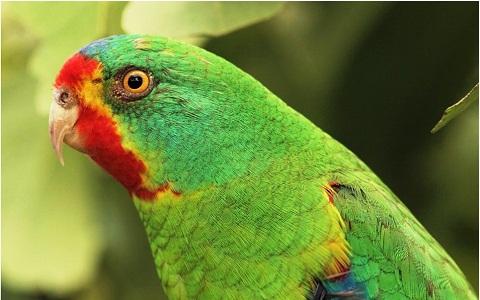 3Perruche-de-Latham—Lathamus-discolor—Swift-Parrot