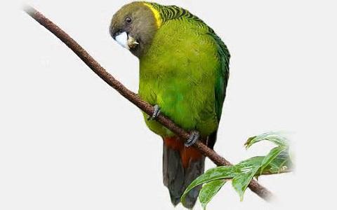 3Perruche-de-Madarasz—Psittacella-madaraszi—Madarasz_s-Tiger-Parrot
