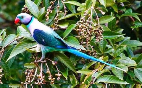 3Perruche-de-Malabar—Psittacula-columboides—Blue-winged-Parakeet