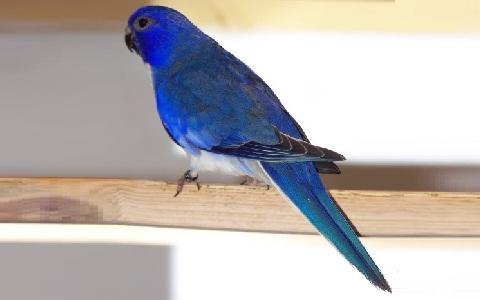 3Perruche-splendide—Neophema-splendida—Scarlet-chested-Parrot